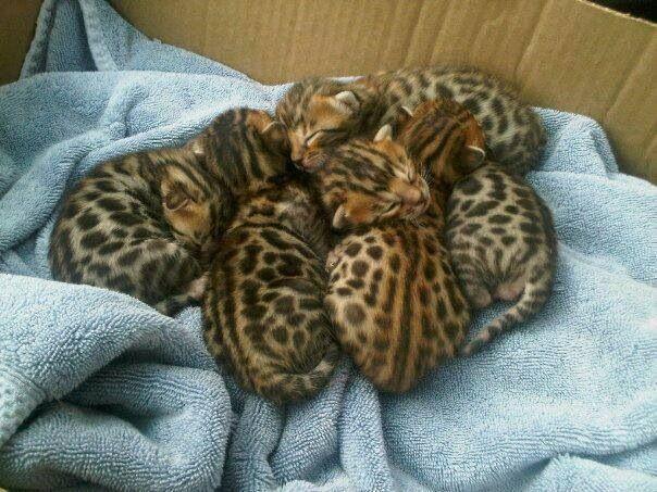 Leopard cat kittens