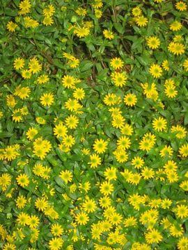 Sanwitalia Rozeslana Polegnatka Lac Sanvitalia Procumbens Ang Creeping Zinnia Uprawa Sanwitalii Rozeslanej Opis Rosliny Kwiat Kwiaty Jednoroczne Plants