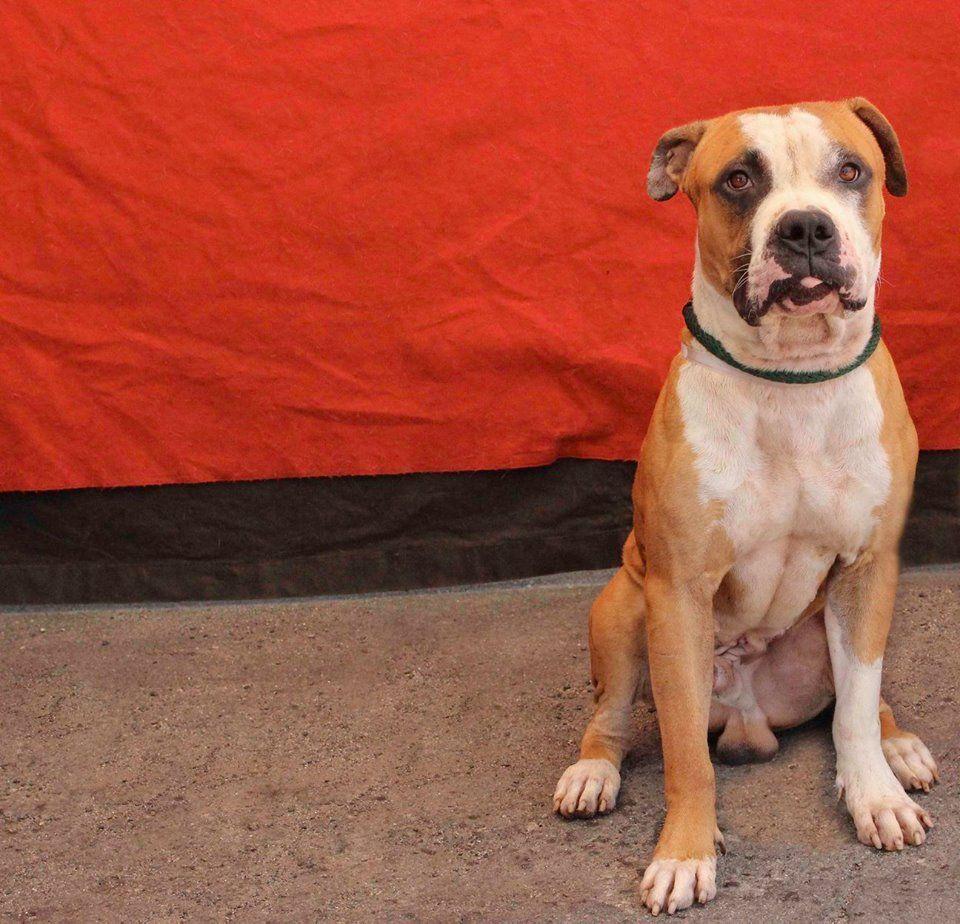 Bulloxer dog for Adoption in Pasadena, CA. ADN605412 on
