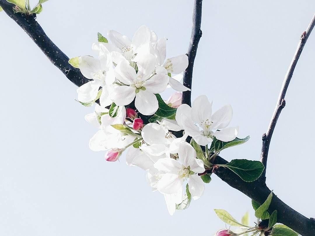 Hallo Montag und Hallo Osterferien  Wie unglaublich schön es ist des Sonntags das Gefühl zu haben dass das Wochenende mal nicht mit dem Montag endet sondern munter in die Verlängerung geht. . Und ja nach dem Magnolienblüten-Spam ist vor dem Apfelblüten-Spam  . . Some tiny beauties above me... . . . #spring #springtime #frühling #nature #naturelove #naturelovers #naturalbeauties #blütenspam #blossom #appletree #appleblossom #nothingisordinary_ #nothingisordinary #sky #skylove #clearsky…