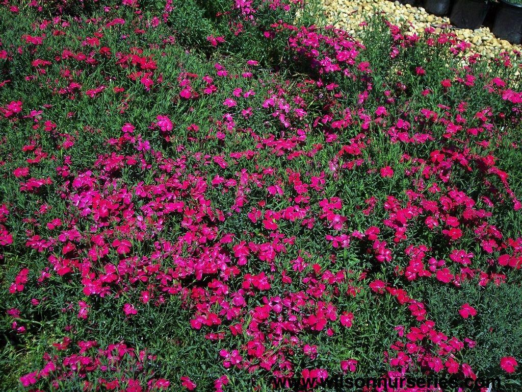 Dianthus Perennials Dianthus Deltoides Brilliant Landscaping