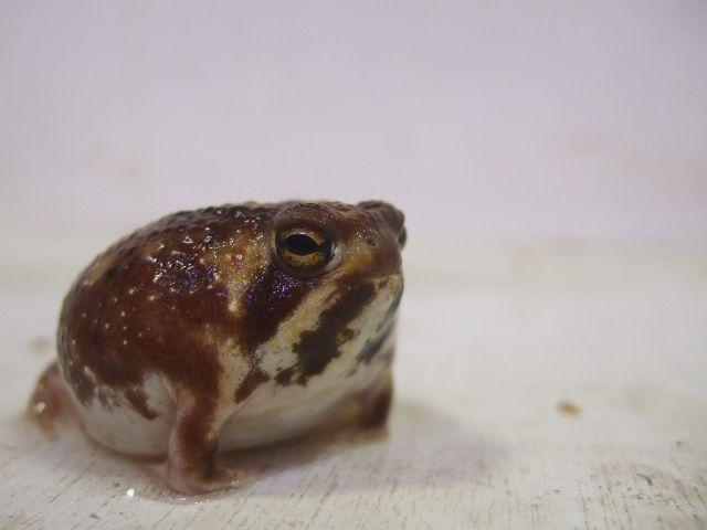 アメフクラガエル ヤング個体 12800 Sold Out 爬虫類 販売 専門店 飼育相談 関西レプタイルプロ フクラガエル かわいい カエル 可愛すぎる動物