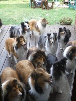 Sheltie Reunion By Regina Dog Breeds Dogs Beautiful Dogs