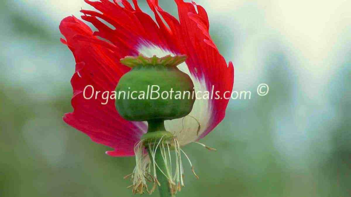 Danish Flag Papaver Somniferum Afghan Opium Poppy Flower Pod 38