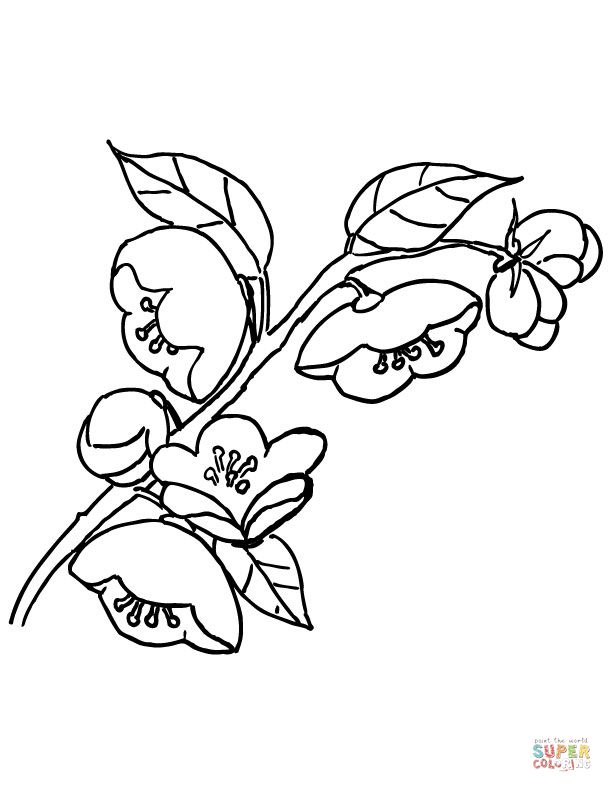 Apple Blossom Super Coloring Apple Coloring Pages Coloring