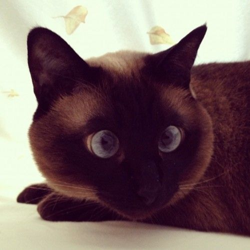 agata-the-cat:    Playing under the sheets! #cat #neko #siamese #agata (Scattata con Instagram)
