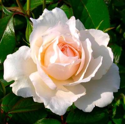 PRINCESS OF WALES...want this rose
