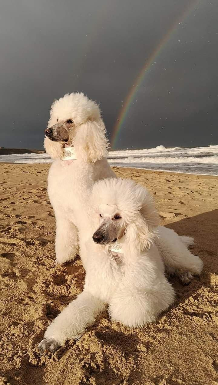 Fantastic Poodle Dogs Info Is Available On Our Web Pages Have A