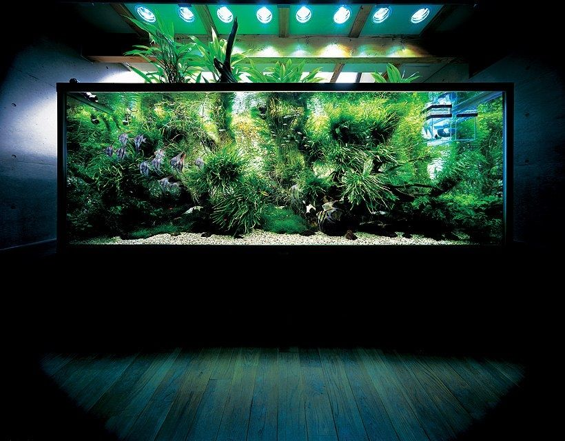 Incroyable The Aquatic Plant Society U2013 Happy Birthday Takashi Amanou2026