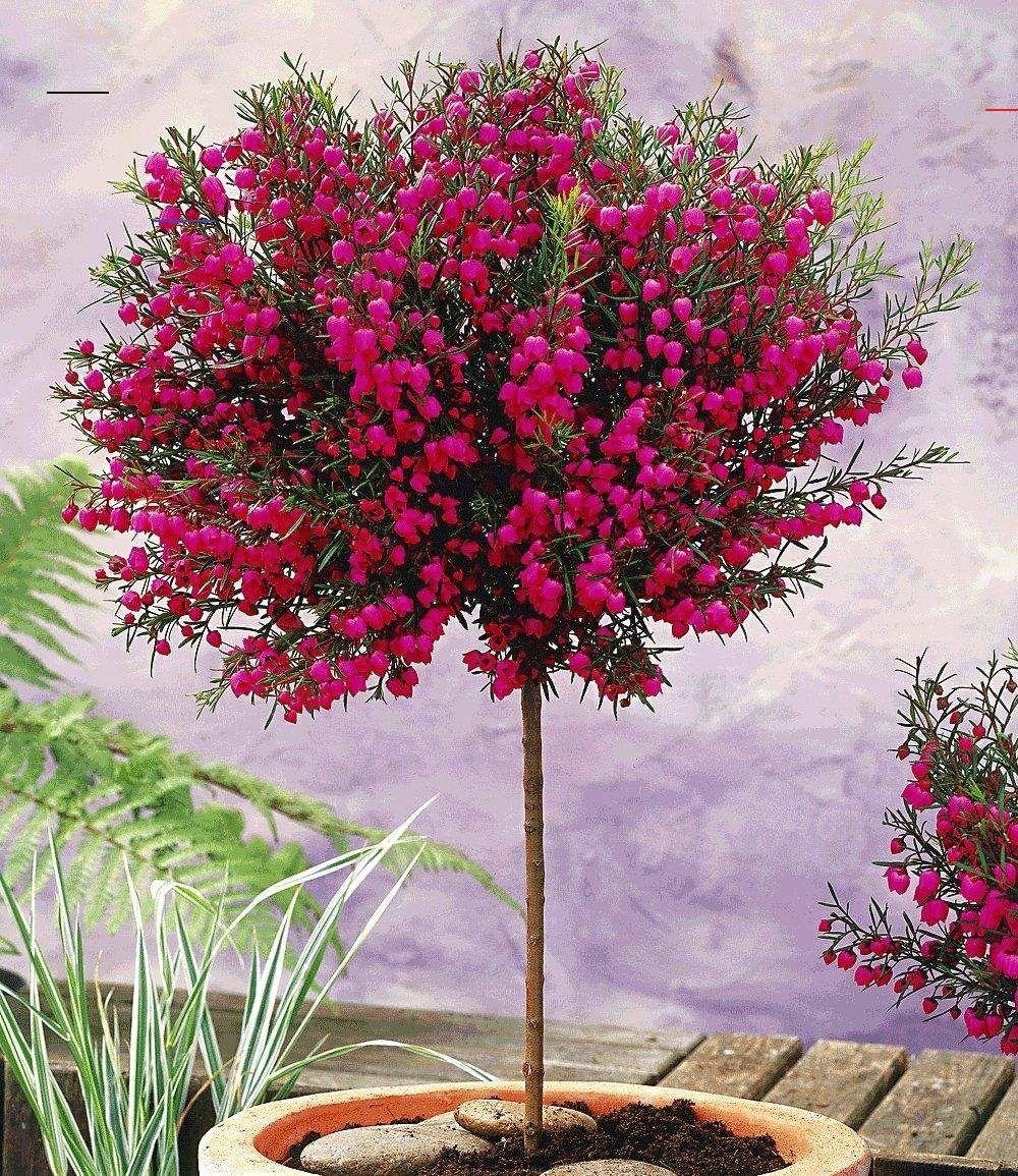 Korallenraute Stammchen Zierstammchen Bei Baldur Garten Immergrunestraucher Dieses Immergrune Ca 80 Cm Flowering Trees Backyard Plants Balcony Plants