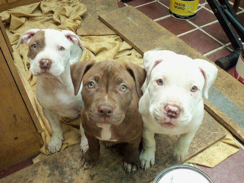 Distintos Colores De Perros Pitbull Cachorros Perros