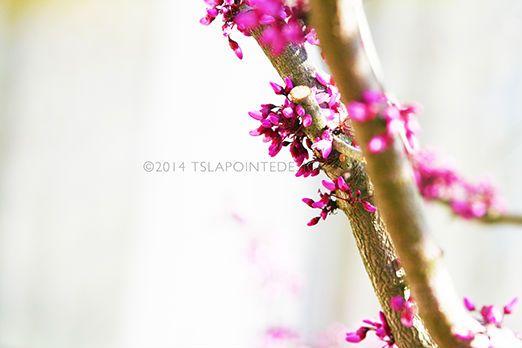 stock photography   tslapointedesign.com cherry blossoms