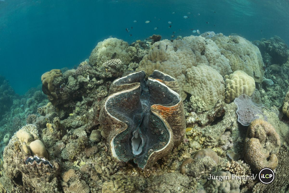 Giant clam (Tridacna gigas) in the coral reef. There were many big ...