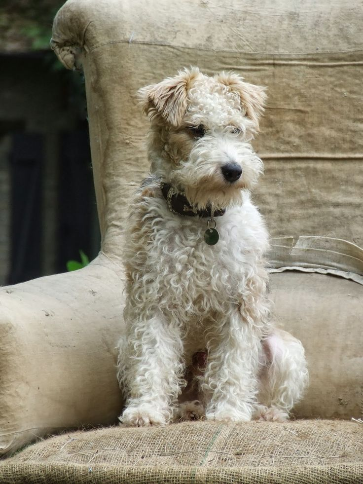 What A Real Wire Haired Fox Terrier Looks Like Ungroomed But