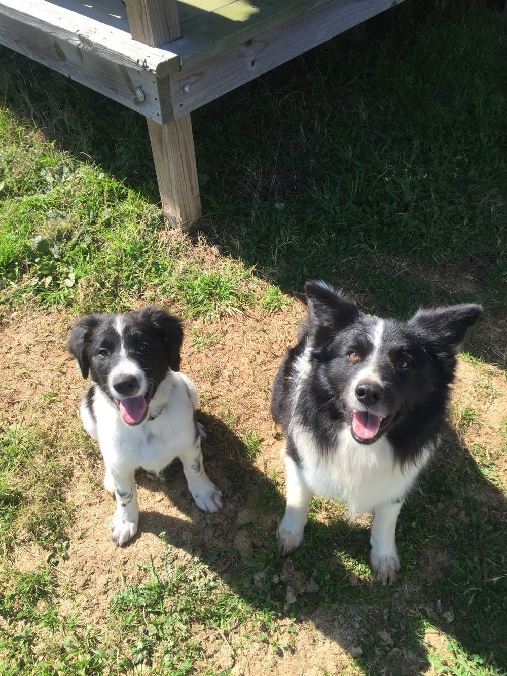Cash And His Daddy Dache Border Collie Brittany Spaniel Mix