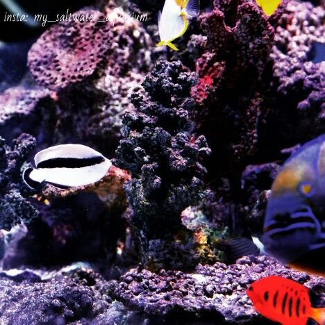 Bandit Angelfish Angel Fish Tropical Fish Tropical