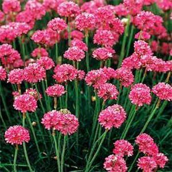 Armeria Armeria Maritima Splendens A Sun Loving Charmer Armeria Has Pink Flower Clusters That Resemble Little Pom Poms The Foliage Is Grasslike And Forms Flower Seeds Pink Perennials Flower Garden