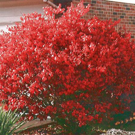 Dwarf Burning Bush Dwarf Burning Bush Beautiful Flowers