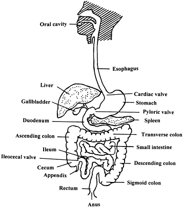 Stomach Diagram Labeled Worksheet Google Search Home School