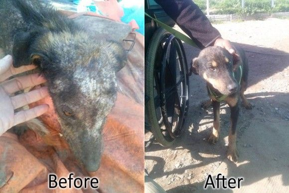 Toska's new owner Mario responded to a picture we posted of Toska saying how much beauty he saw in this dog. Mario recently lost his legs, but will soon have prosthetics fitted and is looking forward to taking his first new steps with his dog who he named Tosca. We wish them both all the best!