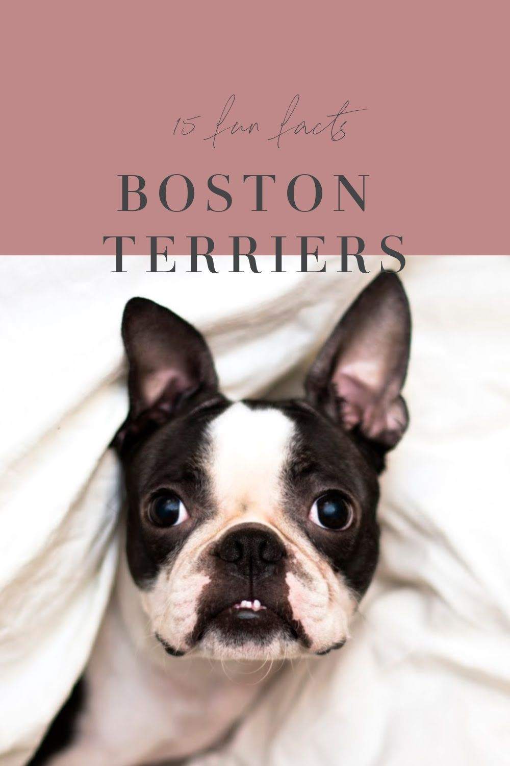 15 Interesting Facts About Boston Terriers In 2020 Boston Terrier Terrier Boston Terrier Dog