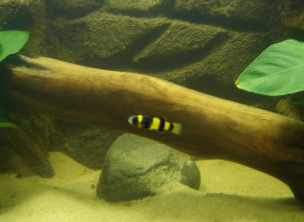 caring for the freshwater bumblebee goby options for tanks fresh