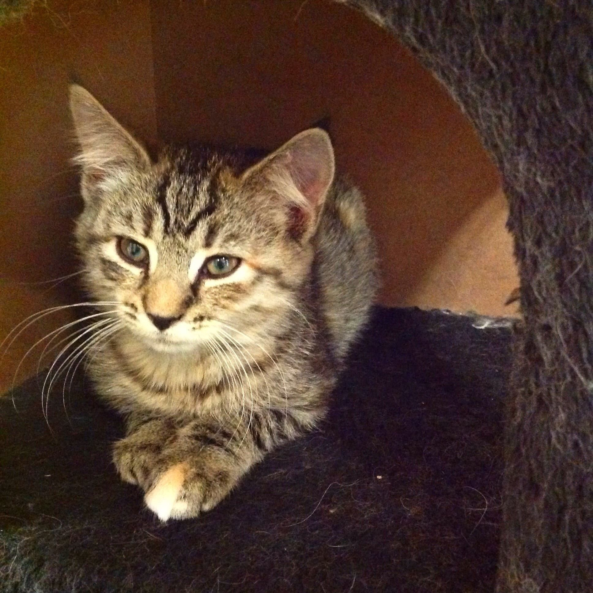 Rescue Cat Tri Colored Female Kitten Approx Date Of Birth 7 29 14 Vaccinated Dewormed Flea Tick Treated Spay Included In The Cat Rescue Kittens Pets