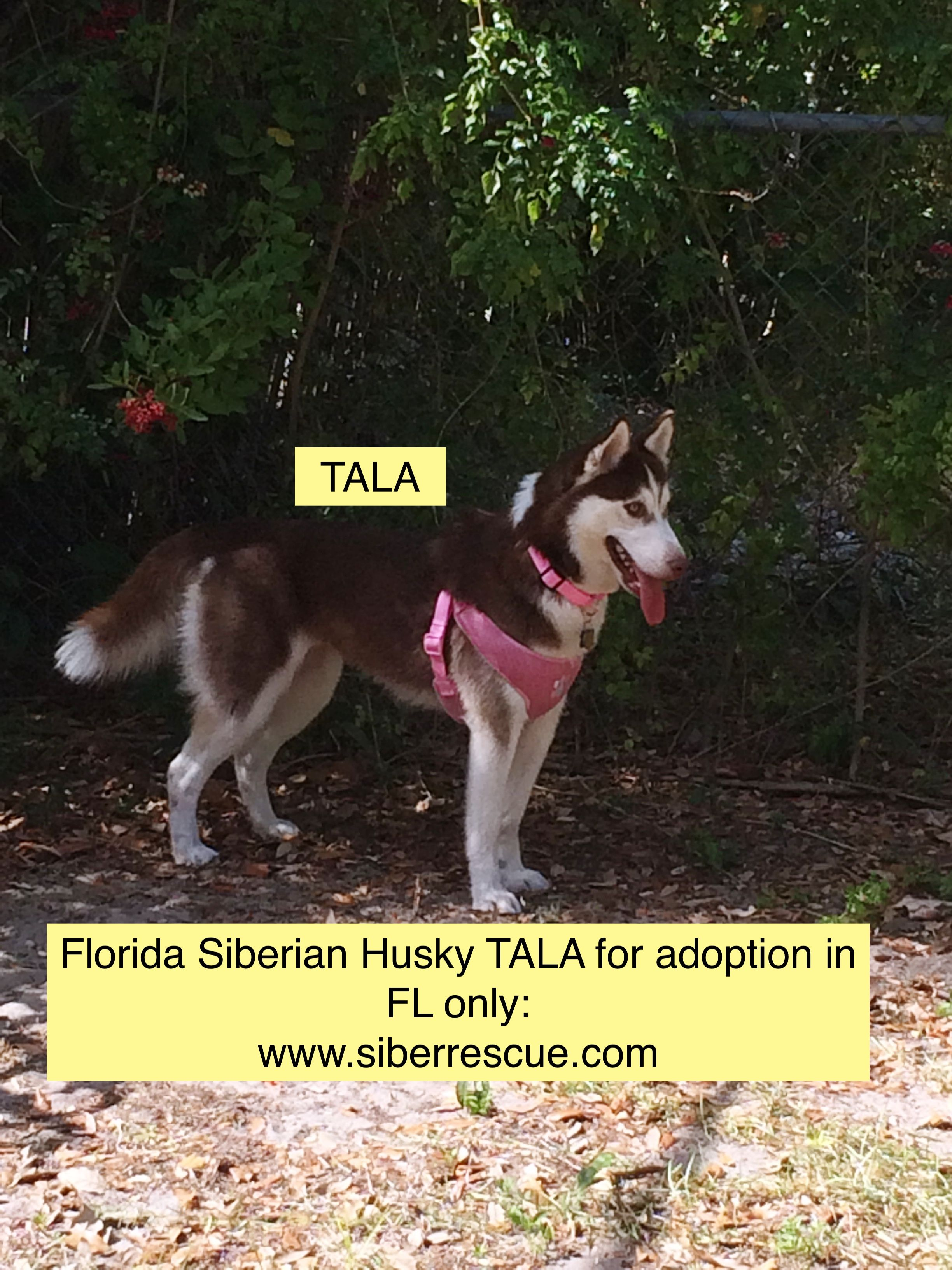 Florida Siberian Husky Tala For Adoption In Fl Only Apply To