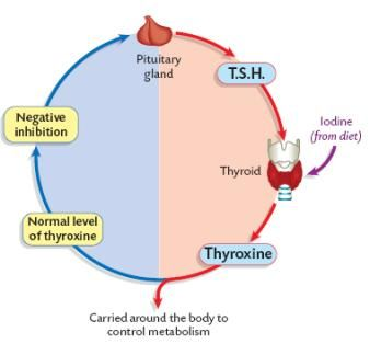 An example of negative feedback in the role of the thyroid in an example of negative feedback in the role of the thyroid in maintaining body temperature at ccuart Images