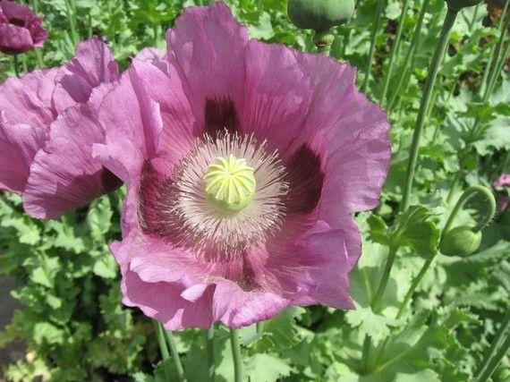 Lavender Poppy Flower Seeds | Poppy flower seeds, Flower ...