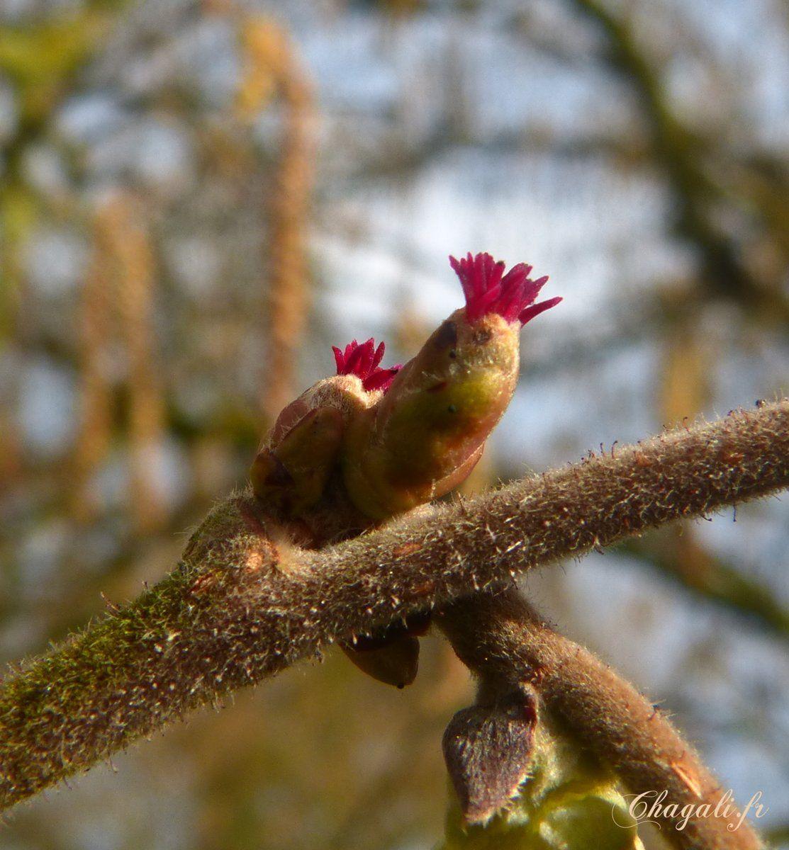 Les Premiers Fruitiers En Fleurs Avec La Floraison Des Noisetiers