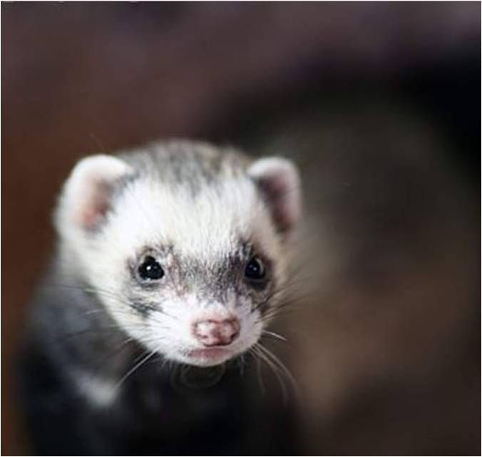 Ferrets A Guide To Feeding And Caring For Ferrets Ferret Pet