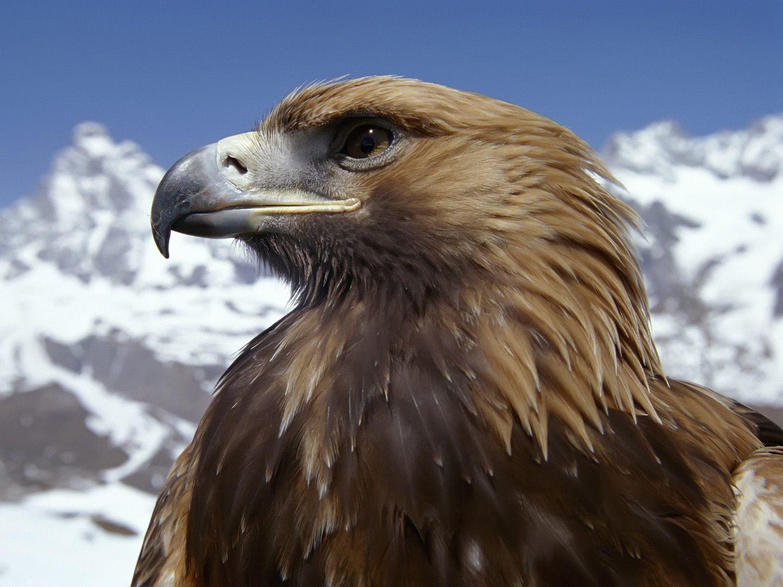 eagle heads Besttopdesktopeaglewallpapershd