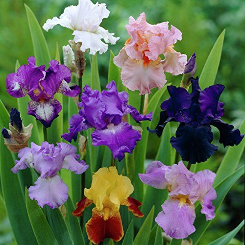 Van Zyverden Breeder S Choice Mixture Iris Germanica Set Sets Blumen Schwertlilie