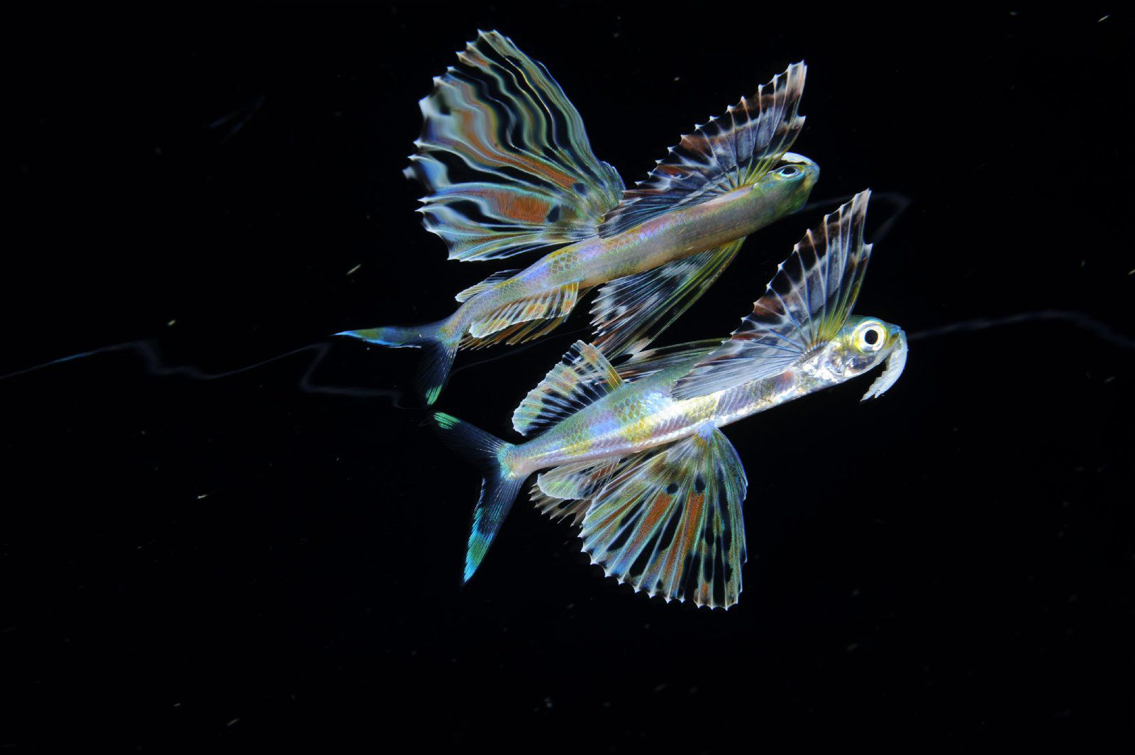 Flying fish at night in the Sargasso Sea near Challenger