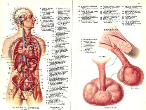 ¿Podemos Regenerar Nuestra Dañada Glándula Pineal?