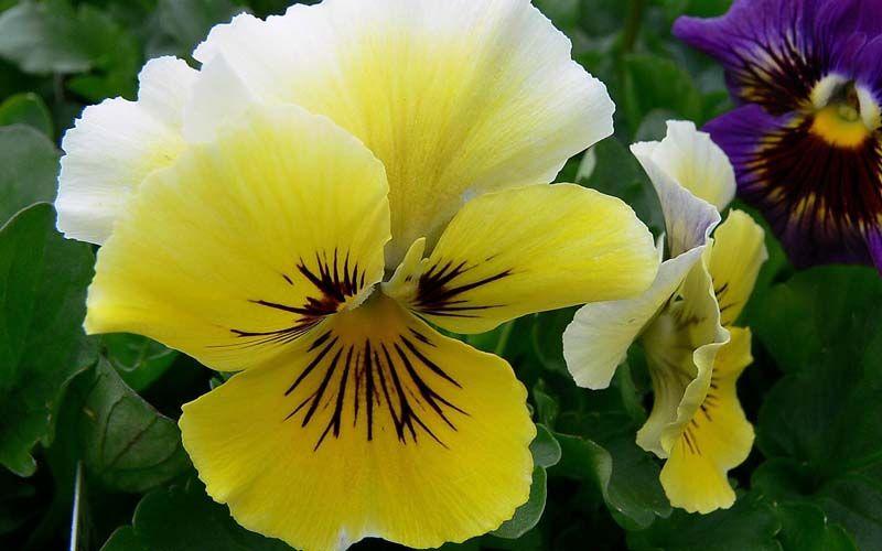 Анютины глазки (часть 9) | Цветы, Цветы во дворе
