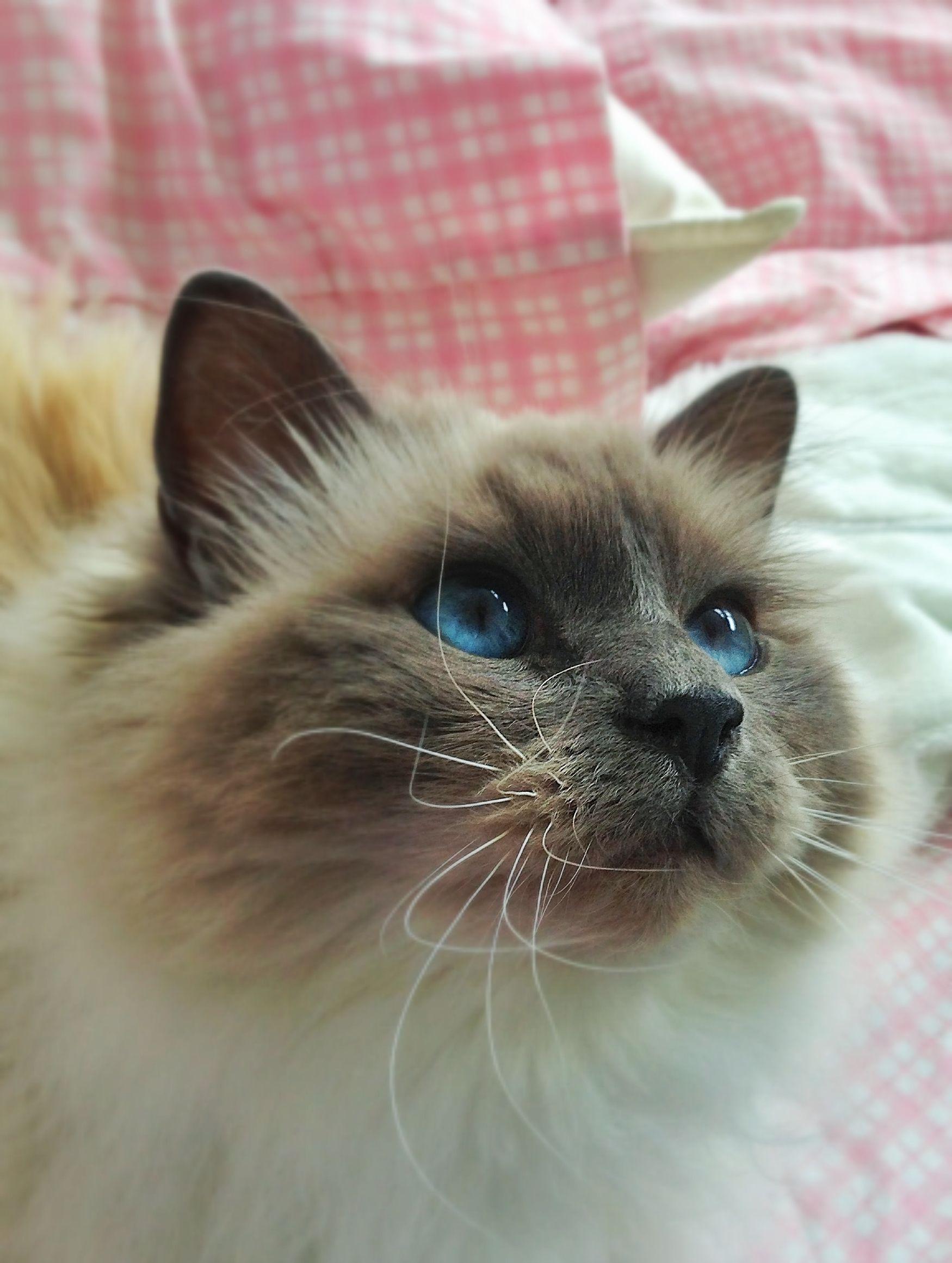 Birman Birman cat, Birman, Kitty
