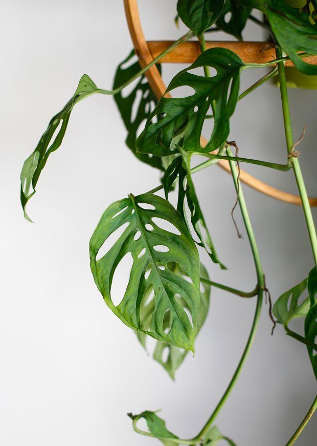 Plant-o-Pedia: Swiss Cheese Vine | Plants/plants art