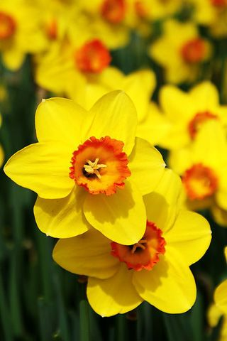 Daffodils Yellow Flowers Beautiful Flowers Wallpapers Beautiful Flowers