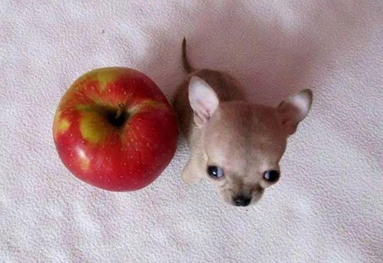Este perito es del tamaño de una manzana es súper chicito y tierno no muerde