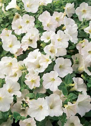 White Petunia Vase Life Of 5 7 Days Year Round Availability