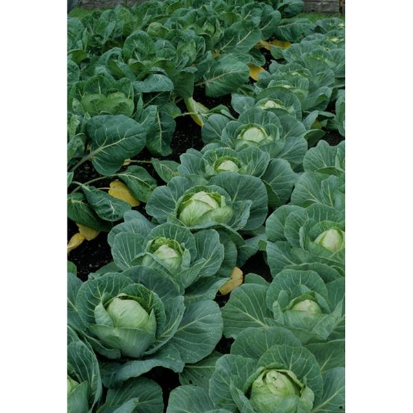 Bravo Cabbage is a standard for its long and vigorous growth ...
