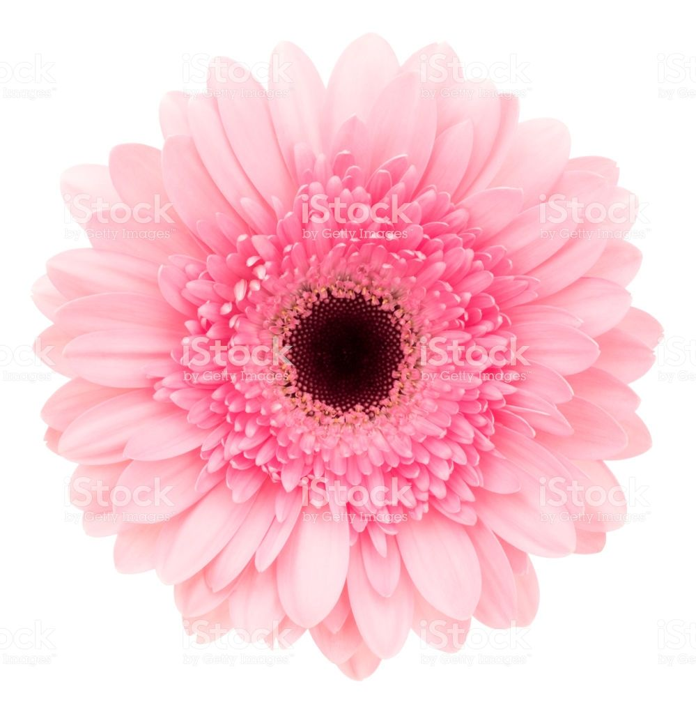 Pink Gerbera Isolated On White Background Gerbera Pink Gerbera Greenscreen