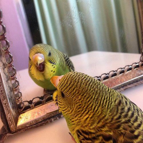 Parakeets - always prone to loving that birdie in the mirror