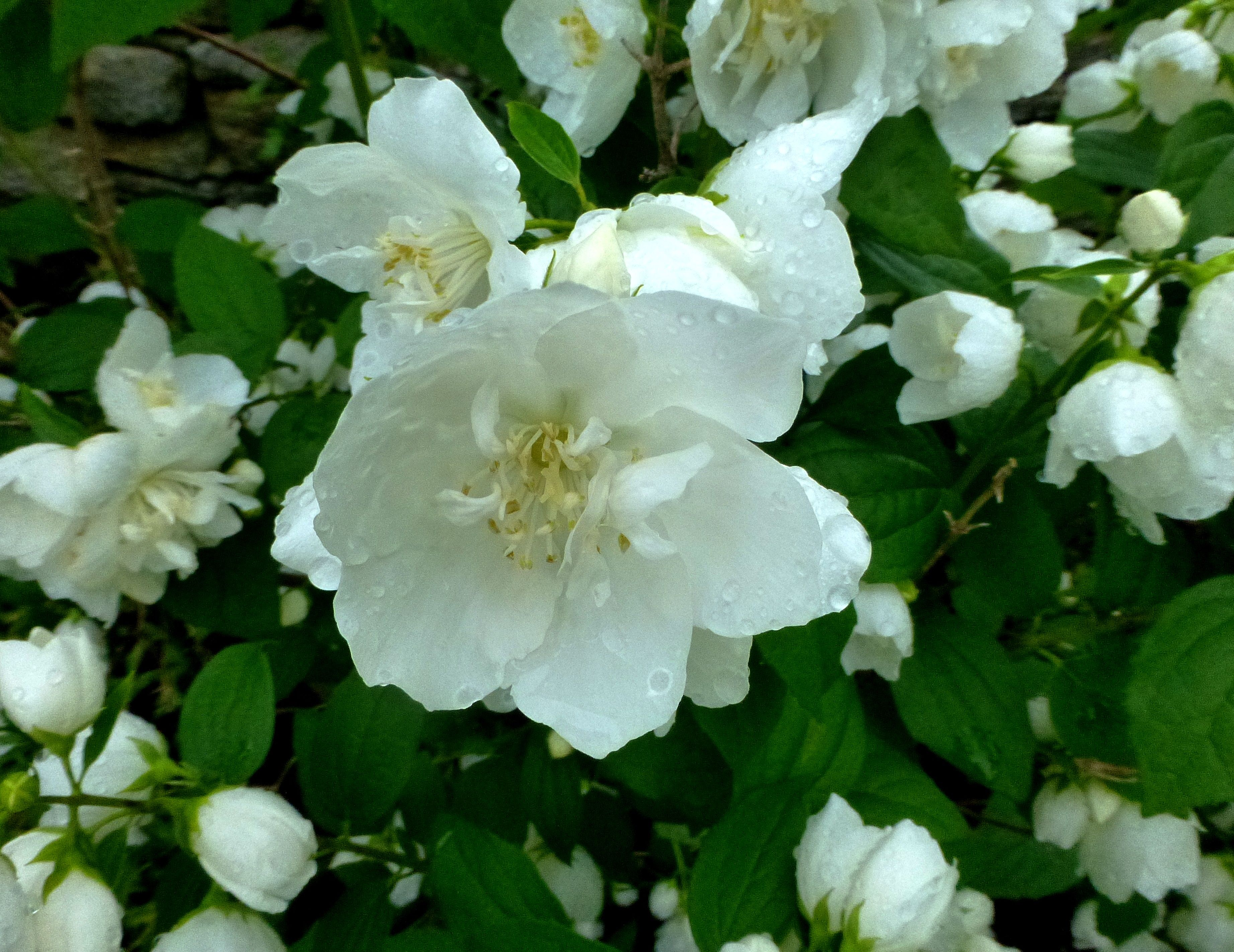 Favorite fragrant flower philadelphus coronarius mock for White flowering bush