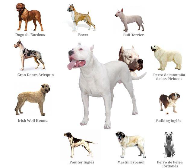 Resultados De La Busqueda De Imagenes De Google De Http Dogoargentino Com Mx Img Fotos Dogo 2520argentino Jpg Bully Breeds Dogs Dog Breeds Hunting Dogs