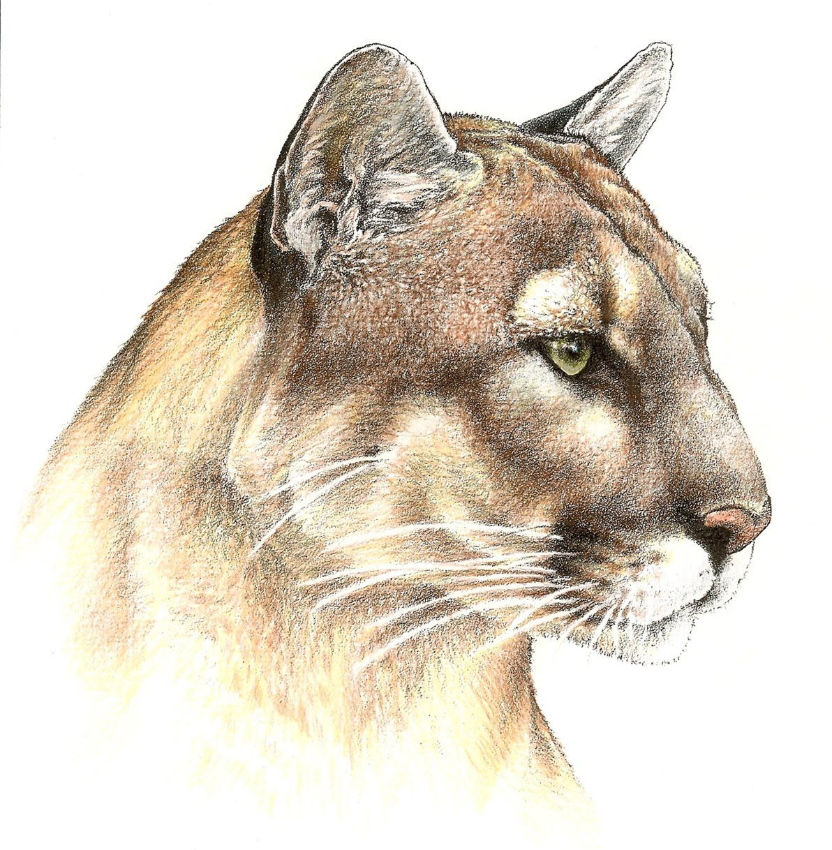 Colored Pencil Drawings Google Search Big Cats Art Wildlife Art Animal Paintings