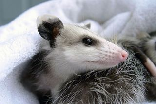 How to get rid of possums in the yard flowers pinterest - How to get rid of possums in the garden ...