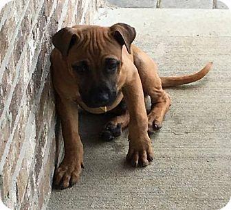 Cincinnati Oh Boxer Meet Baloo A Puppy For Adoption Http Www Adoptapet Com Pet 18365034 Cincinnati Ohio Boxer Dog Adoption Pets Puppy Adoption
